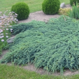 Вечнозеленые растения оптом