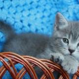 Британских котята, полтора месяца