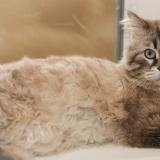 Крупный котик Тайсон ищет дом
