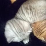 Котята от Персидской кошки