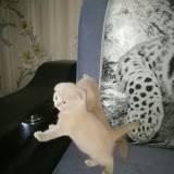 вислоухие котята-медвежата